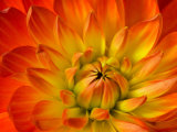 Dahlia Flower with Pedals Radiating Outward, Sammamish, Washington, USA Photographic Print by Darrell Gulin