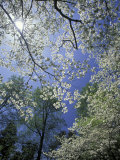 White Flowering Dogwood Trees in Bloom, Kentucky, USA Photographic Print by Adam Jones