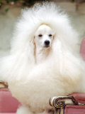 Miniature poodle sitting in armchair at 88th annual Westminster Kennel Club Dog Show. Lmina fotogrfica de primera calidad por Nina Leen