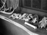 Collection of Antlers, Skulls and Bones on Window Still at Ghost Ranch of Georgia O'Keeffe's Home Photographic Print by John Loengard