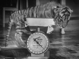 Rajpur, a Tiger Cub, Being Weighed on a Scale Premium Photographic Print by Alfred Eisenstaedt