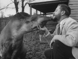 Writer/Naturalist Gerald Durrell Petting South American Tapir in His Private Zoo on Isle of Jersey Fototryk i høj kvalitet af Loomis Dean