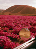 Rinconada Ranch with wiew of a field of petunias including abandoned school Premium Photographic Print by Ralph Crane