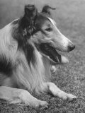 "Close Up of Collie ""Lassie"" Premium Photographic Print by John Florea"