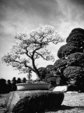 110 Year Old Bonsai Maple Tree on Estate of Collector Keibun Tanaka in Suburb of Tokyo Photographic Print by Alfred Eisenstaedt