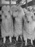 Three Angora Goats, Raised on Ranch for Their Fleece, Known Commercially as Mohair Photographic Print by Alfred Eisenstaedt