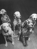 Dalmatians Nedo, Sussex, Smokie, Checkers, and Bingo Bango Belonging to Boston Fire Department Photographic Print by Alfred Eisenstaedt