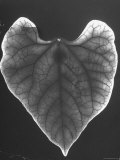 Radioactive Hydrogen Sulfide Appears as Pale Area around Healthy bean leaf's edge Premium Photographic Print by Al Fenn