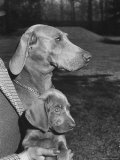 Champion Weimaraner and her 8-week-old male puppy with proud owner Mrs. Harold Goldsmith. Premium Photographic Print by Bernard Hoffman