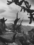 Gnarled Trunk of a 4000 Year Old Bristlecone Pine Standing in California's White Mountains Premium Photographic Print by J. R. Eyerman