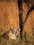 After a Night of Eating This Tiger Yawns in Preparation for a Nap in Kanha National Park Premium Photographic Print by Stan Wayman