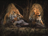 Tigers in Kanha National Park Feeding on a Buffalo taken by Zoologist Dr. Schaller Premium Photographic Print by Stan Wayman