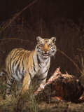 Tiger in Kanha National Park Feeding on a Buffalo taken by Zoologist Dr. Schaller Premium Photographic Print by Stan Wayman