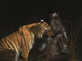 Tiger Killing Buffalo in Kanha National Park in Central India Taken by f Zoologist Dr. Schaller Premium Photographic Print by Stan Wayman