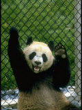 Ling, Panda Gift from Chinese Govt. to American, Reclining Against Chain Link Fence at National Zoo Premium Photographic Print by Stan Wayman