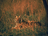 Tiger Sitting in Indian Meadow Grass of Kanha National Park of Central India Premium Photographic Print by Stan Wayman