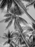 Palm Trees on Ellice Islands, Tuvalu Premium Photographic Print by Peter Stackpole