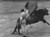 Bull Fighter Manolete Raising His Cape as Bull Charges Past Him in Bull Ring During Bull Fight Premium Photographic Print by William C. Shrout