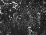 Spider in Its Web: Orb Weaver's Web, Measuring 3 Feet Across Premium Photographic Print by Andreas Feininger