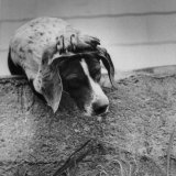 "Pointer Belonging to Animal Psychologist and Trainer Keller Breland Entitled ""My Aching Head."" Photographic Print by Joe Scherschel"