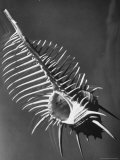 Venus Comb (Murex Pecten), Sea Shell Premium Photographic Print by Andreas Feininger