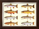 Classic Trout Posters by Joseph Tomelleri