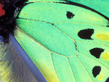 Poseidon (Green Butterfly), Papua New Guinea Photographic Print by Gavriel Jecan