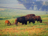Bison at Neil Smith National Wildlife Refuge, Iowa, USA Photographic Print by Chuck Haney