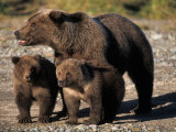 Brown Bear Sow with Cubs Looking for Fish, Katmai National Park, Alaskan Peninsula, USA Photographic Print by Steve Kazlowski