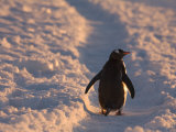 Gentoo Penguin Rests on Trail Towards Colony on Petermann Island, Antarctic Peninsula Photographie par Hugh Rose