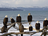 Bald Eagles in Winter, Homer, Alaska Fotografie-Druck von Charles Sleicher
