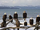Bald Eagles in Winter, Homer, Alaska 写真プリント : チャールズ・スレイチャー