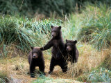 Grizzly Bear Cubs in Katmai National Park, Alaskan Peninsula, USA Photographic Print by Steve Kazlowski