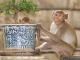 Long Tail Macaque, Thailand Photographic Print by Gavriel Jecan