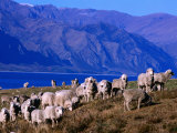 Lake Hawea Merino Sheep, Southern Alps, New Zealand Photographic Print by John Banagan