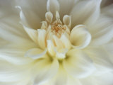 White Dahlia Close-up Photographie par Janell Davidson