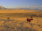Cattle Graze Along the Rocky Mountain Front near Choteau, Montana, USA Stampa fotografica di Chuck Haney