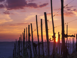 Sunset Through the Vines of the Italian Wine Country, Tuscany, Italy Photographic Print by Janis Miglavs