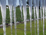 Icicles Hang from Sign at Fancy Farms, a Strawberry Farm in Plant City, Florida, December 31, 2000 Photographie par Dale E. Wilson