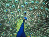 Peacock Spreading Colorful Feathers Photographic Print by Bill Bachmann