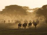Wildebeest Migration, Tanzania Fotografisk trykk av Charles Sleicher