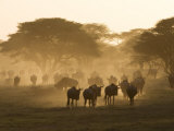 Wildebeest Migration, Tanzania Photographic Print by Charles Sleicher