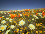 Poppies and Desert Dandelion in Spring Bloom, Lancaster, Antelope Valley, California, USA Photographic Print by Terry Eggers