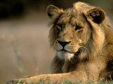 Lioness, Rare Maned Female, Okavango Delta, Botswana Fotografie-Druck von Pete Oxford