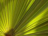 Traveler's Palm Leaf Detail, Edgewater, Florida Reproduction photographique par Lisa S. Engelbrecht