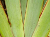 Flax Detail, West Coast, South Island, New Zealand Photographic Print by David Wall