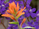Scarlet Paintbrush and Larkspur, Olympic National Park, Washington, USA Photographic Print by Jamie & Judy Wild