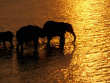 African Elephants, Okavango Delta, Botswana Photographic Print by Pete Oxford