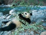 Panda Eating Bamboo by Riverbank, Wolong, Sichuan, China Photographic Print by Keren Su