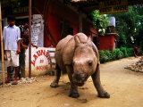 An Orphan Baby Indian Rhinoceros Standing in a Street, Royal Chitwan National Park, Sauraha, Nepal Photographic Print by Andrew Parkinson